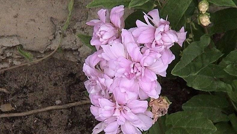 Калистегия махровая:выращивание и посадка в открытом грунте,фото,видео. | растюнька