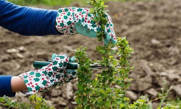 Как ухаживать за крыжовником весной чтобы был хороший урожай?