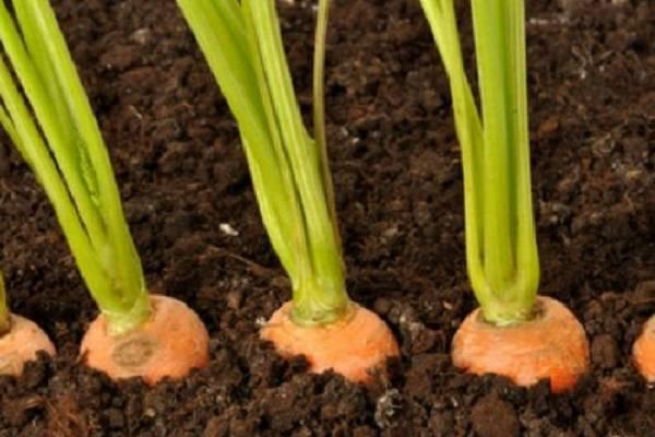 Сажаем морковь: как обойтись без прореживания