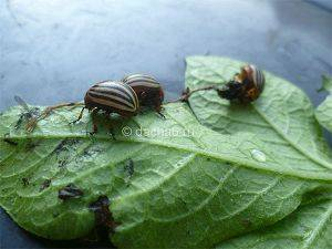 Деготь от колорадского жука: свойства, приготовление и использование на огороде