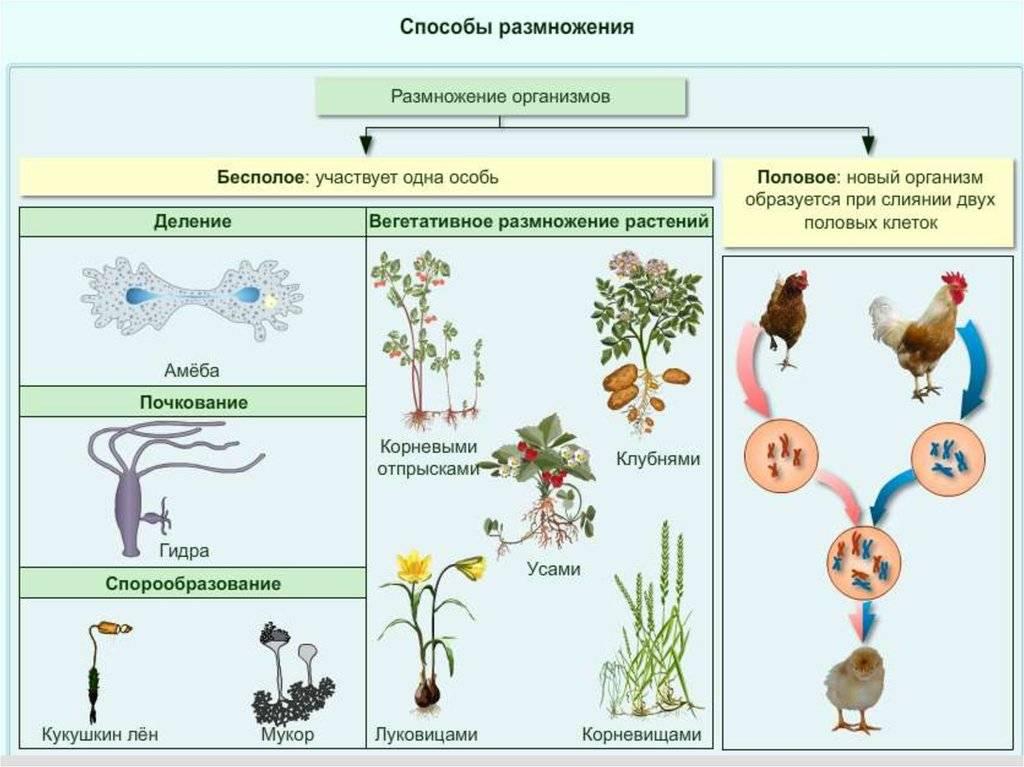 Механизм размножения грибов почкованием