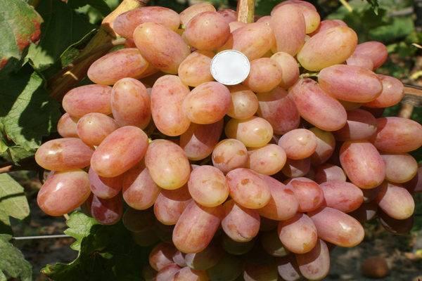 Виноград преображение, описание сорта и особенности выращивания, отзывы