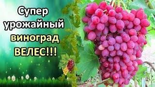 Сорт винограда велес: фото и описание, отзывы, уход