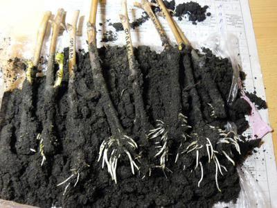 Выращивание винограда из черенков весной: проращивание и укоренение в домашних условиях - год 2021