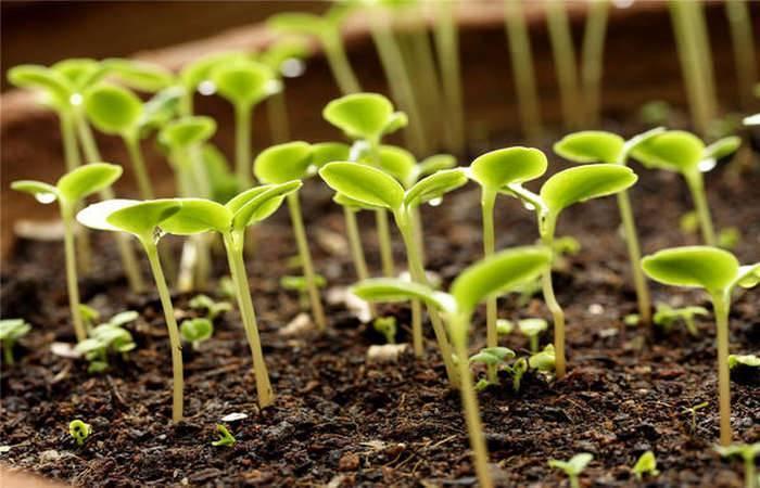 Как подготовить семена помидор к посадке на рассаду, обработка и замачивание – дачные дела