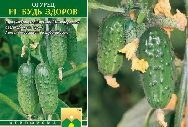 Выращивание сорта огурцов брейк