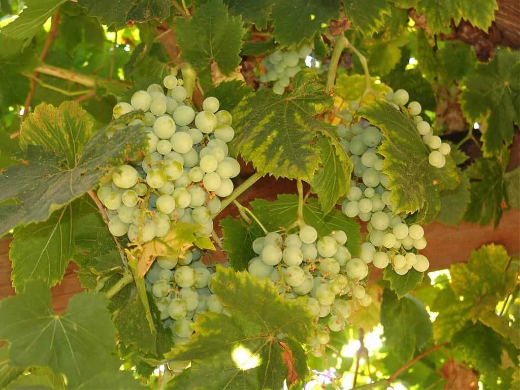 Сорт винограда дарья