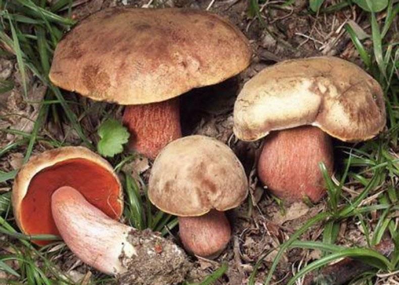 Польский гриб, фото и описание