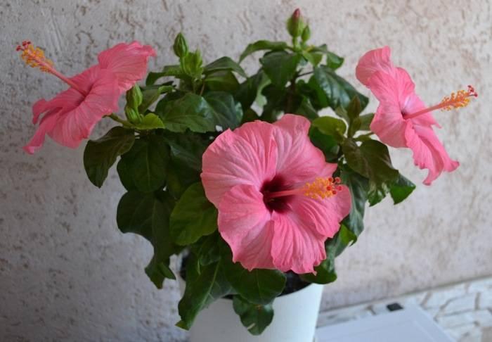 Гибискус: описание, выращивание, уход   75 фото +отзывы