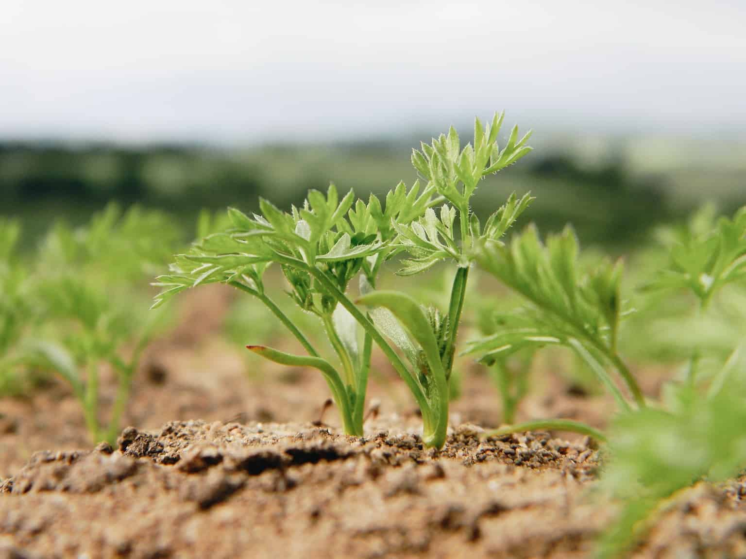 Обработка моркови керосином и гербицидами от сорняков