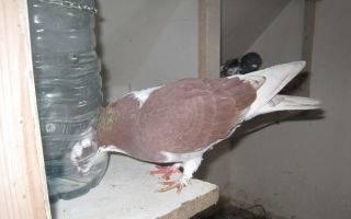Применение ласоты для голубей - агрономы
