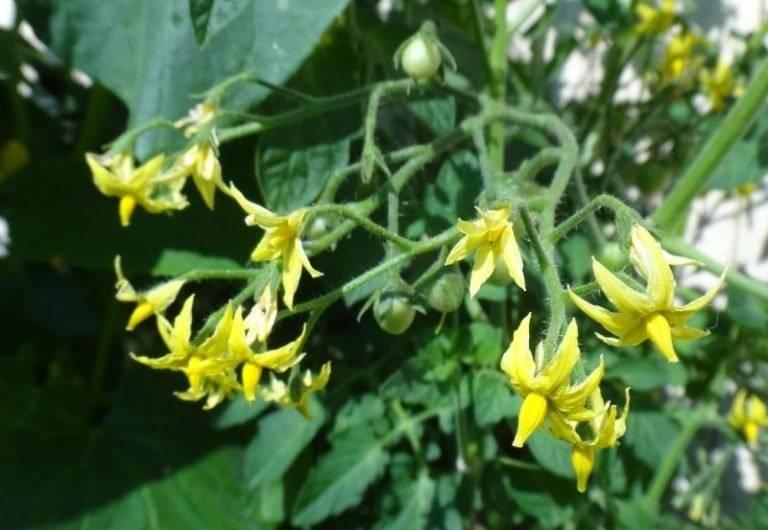 Помидоры цветут, а завязи нет, что делать в теплице