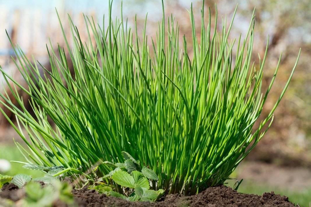 Многолетний лук: популярные виды, сорта, особенности выращивания и размножения