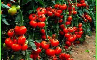 Посадим томат  «красным красно» — вырастим богатый урожай