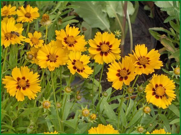 Цветок кореопсис многолетний: фото, посадка и уход за ним в открытом грунте, выращивание из семян