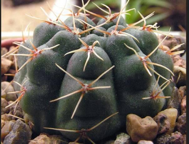 Красная шапка или гимнокалициум японский. описание и уход за растением в домашних условиях