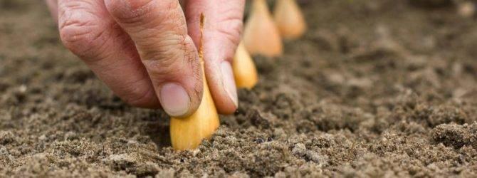 Как посадить лук-севок весной