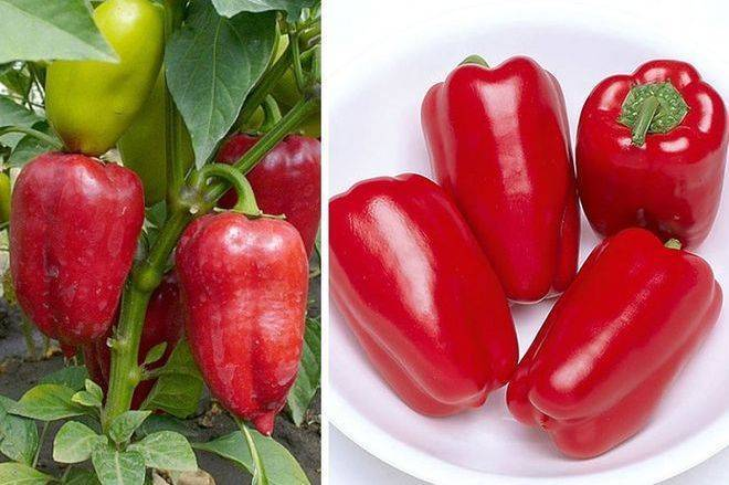 Сладкий перец для сибири: лучшие сорта, когда и как сажать на рассаду, выращивание в открытом грунте и теплице, уход