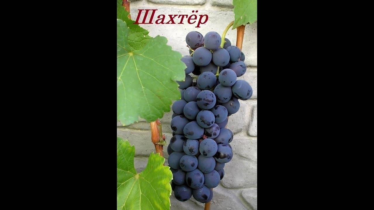 Виноград шахтер - мир винограда - сайт для виноградарей и виноделов