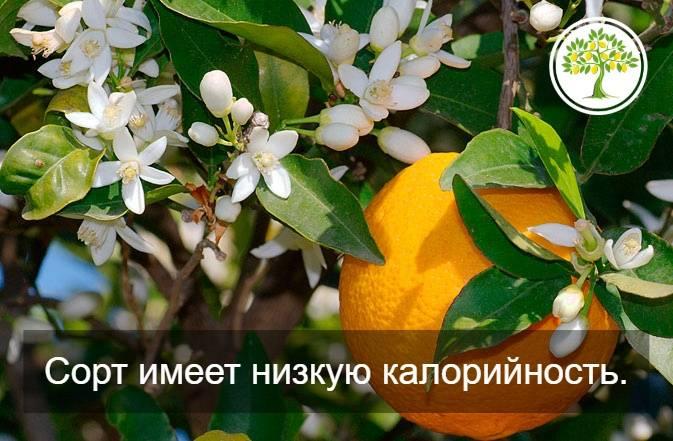 Апельсин вашингтон навел в домашних условиях (комнатный): как растет и плодоносит апельсин вашингтон навел в домашних условиях (комнатный): как растет и плодоносит