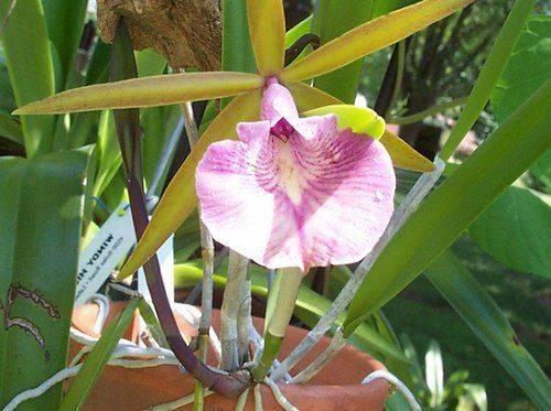 Орхидея брассавола (brassavola)