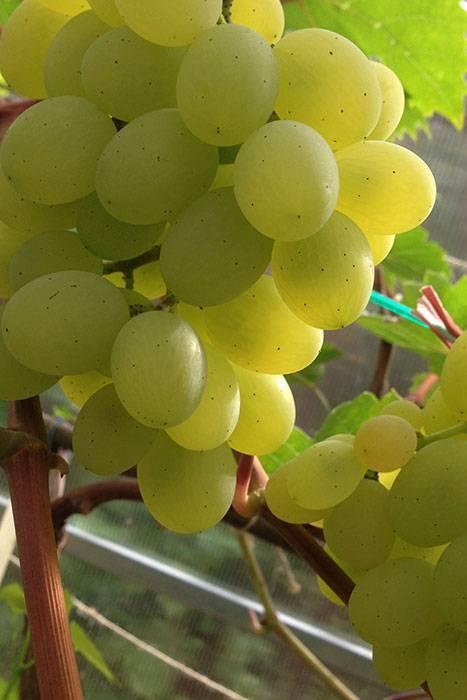 Виноград посадка и уход в подмосковье: лучшие сорта