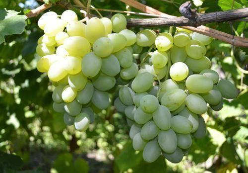 Особенности сорта винограда «подарок запорожью»