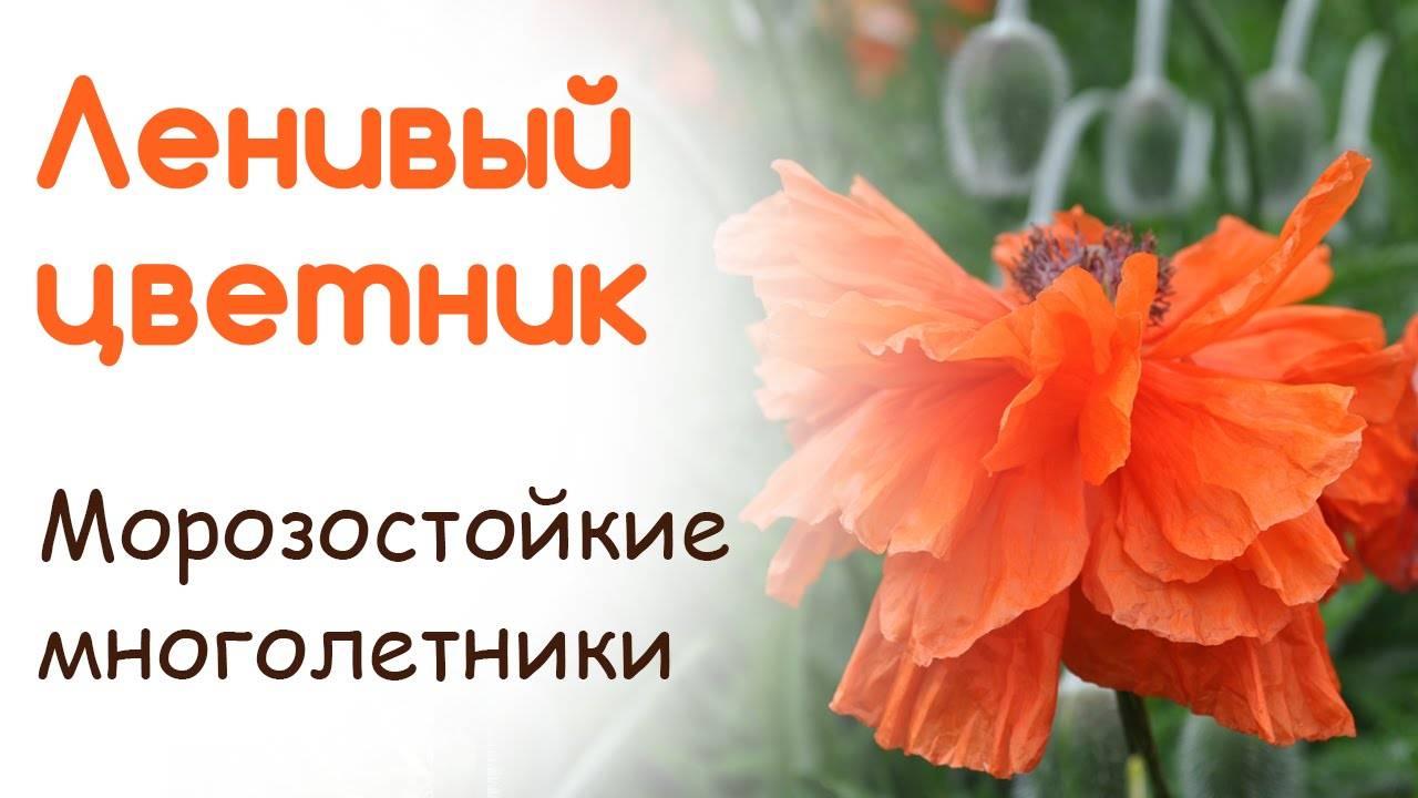 Топ 24 неприхотливых многолетника, цветущих все лето, фото с названиями
