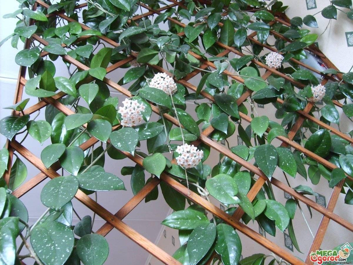 Хойя (hoya). уход, размножение, формирование, цветение.   floplants. о комнатных растениях