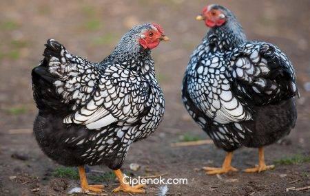 Мясо-яичные породы кур: фото, характеристики, описание
