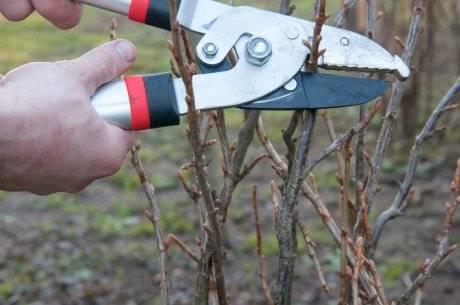 Как обрезать смородину осенью чтобы был хороший урожай? - подготовка к зиме