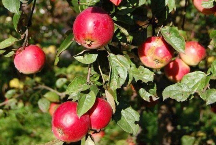 Все о колоновидных яблонях: урожайность, корневая система, срок жизни, нужна ли пара | tele4n.net
