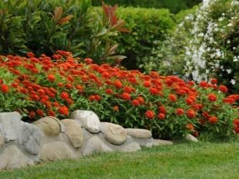 Циния: выращивание из семян, когда сажать в открытый грунт, уход и фото
