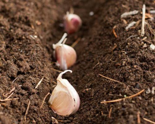 Готовь сани летом, а чеснок — осенью: как подготовиться к посадке пряной культуры под зиму и чем обработать посевной материал