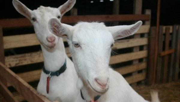 Мастит у козы – 4 способа лечения воспаления вымени