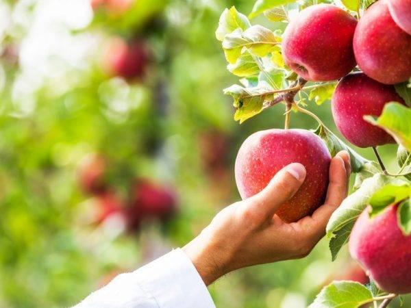 """Яблоня """"баяна"""": описание сорта, фото, отзывы"""