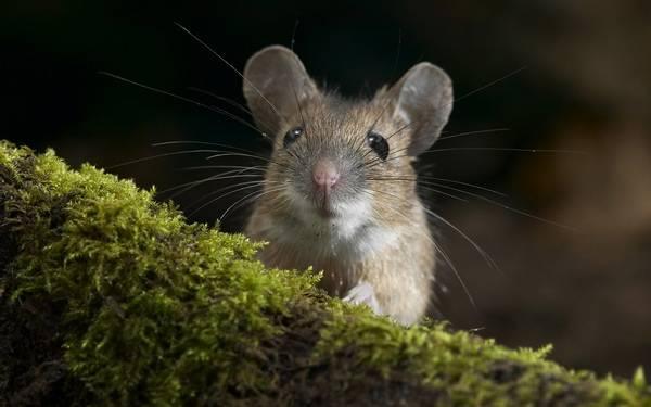 Как избавиться от мышей на участке: советы, народные средства как избавиться от мышей на участке: советы, народные средства