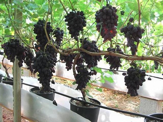 Виноград кодрянка — описание, посадка и уход
