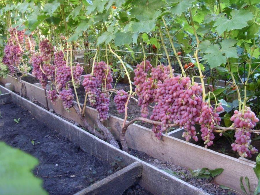 Виноград кишмиш велес: описание, фото и отзывы
