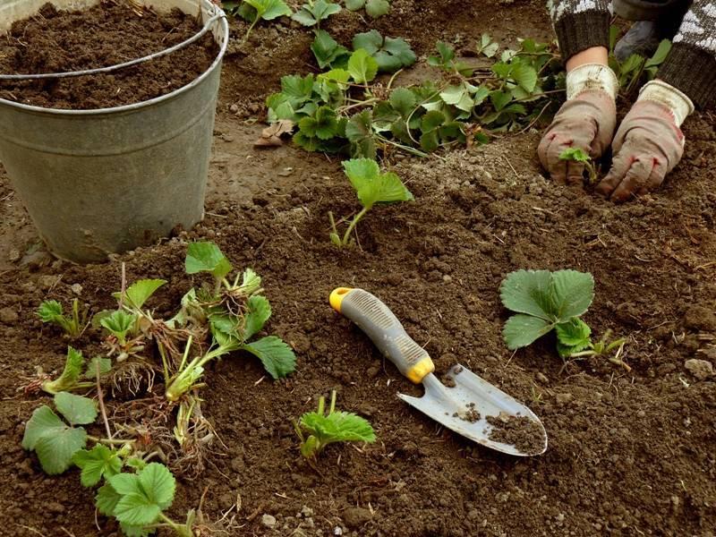 Как посадить клубнику осенью в открытый грунт