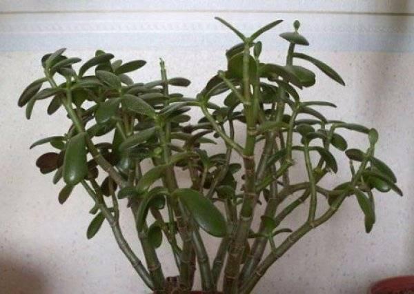 Толстянка – денежное дерево: болезни и вредители с фото | образцовая усадьба