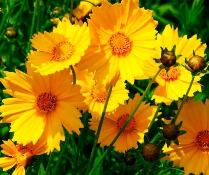 Кореопсис описание,выращивание в открытом грунте,фото,видео,виды. | растюнька