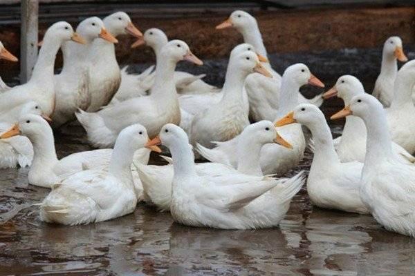 Утка благоварская белая: описание кросса, особенности содержания в домашних условиях