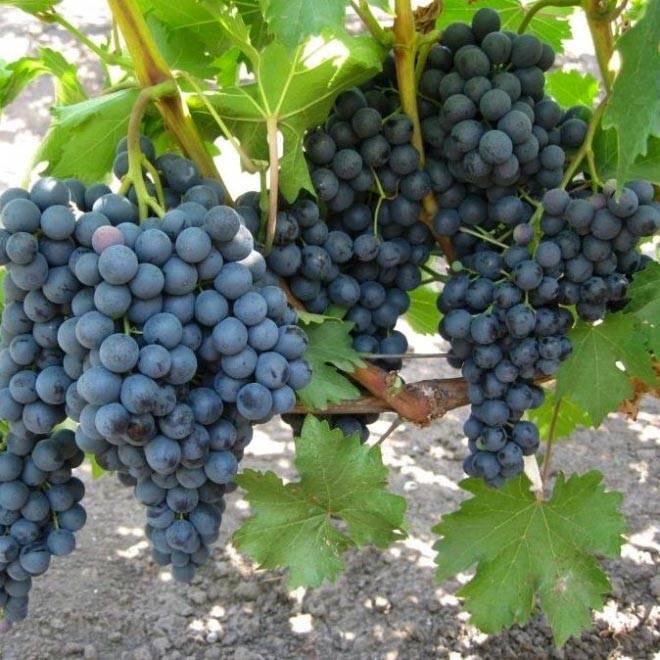 Виноград золотой потапенко: сладкий сорт с диким прошлым