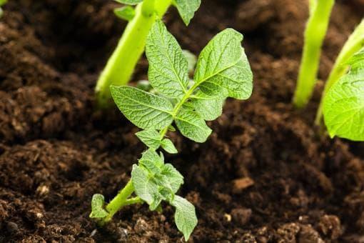 Удобряем картофель для хорошего урожая