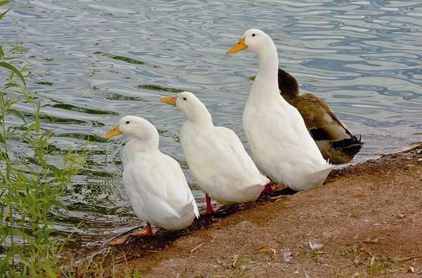 Поилки для гусей своими руками - jurnalagronoma