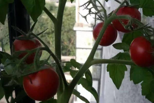 Томат цифомандра: описание, характеристика, урожайность сорта, особенности выращивания, отзывы, фото