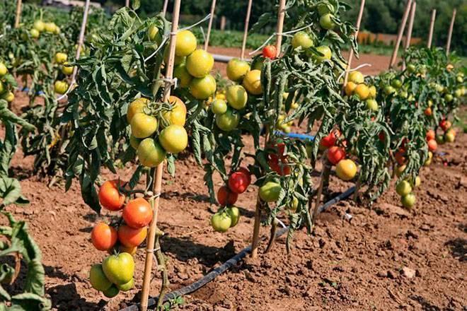 Томат ляна – отличный урожай при минимальном уходе