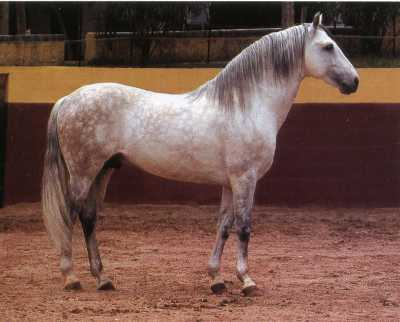 Андалузская лошадь: происхождение породы, описание внешнего вида и стандартов