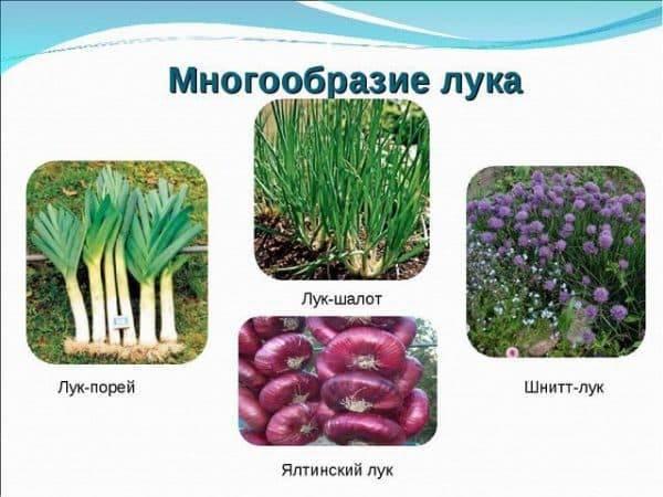 Крымский (ялтинский) лук - фото, как отличить подделку, польза и вред